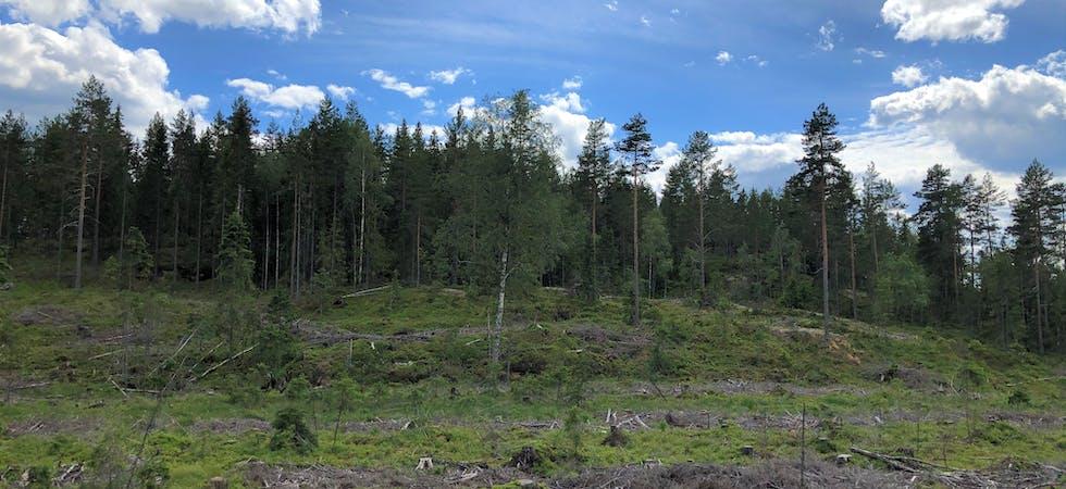 FLATEHOGST. Ved ein flatehogst blir dei fleste tre på flata hogd, deretter blir det planta på nytt.   Skog Hogst Tre Natur